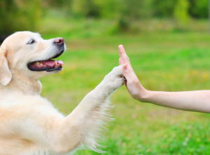 Golden Retriever dog giving paw owner, closeup photo